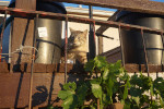 A mixed house/wild-cat sneaking around the grape vines on the porch at Nick's place.
